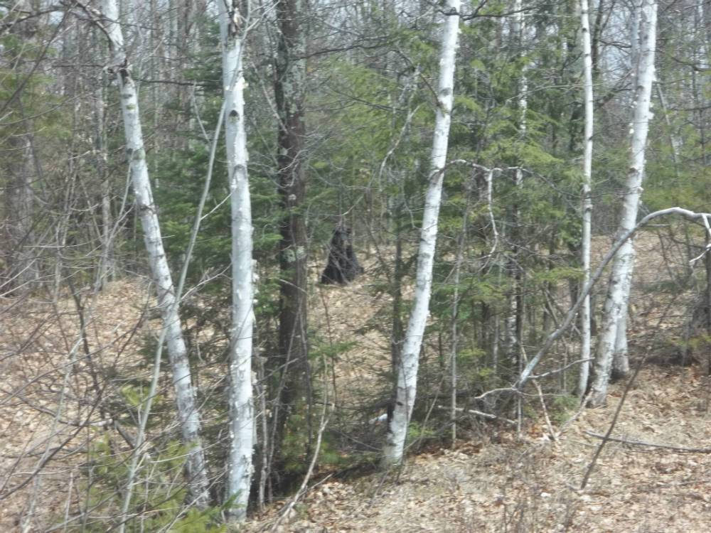 Chequamegon National Forest Bear Hunts