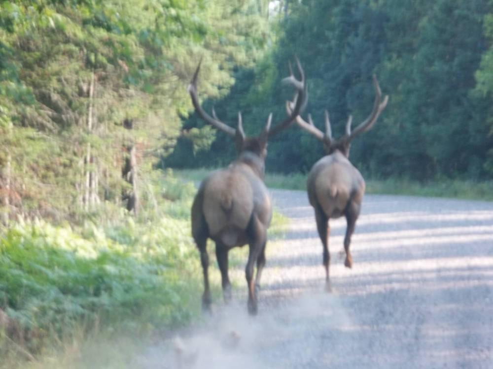 Clam Lake Elk