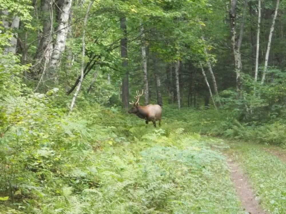Elk viewing in Clam Lake, WI