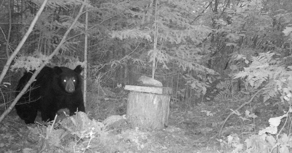 Northern Wisconsin Black Bear