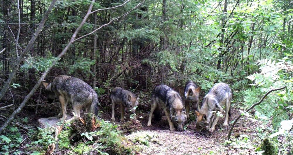 Guided Wolf Hunts in Wisconsin