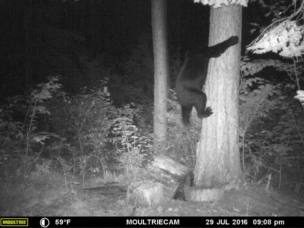 black-bear2