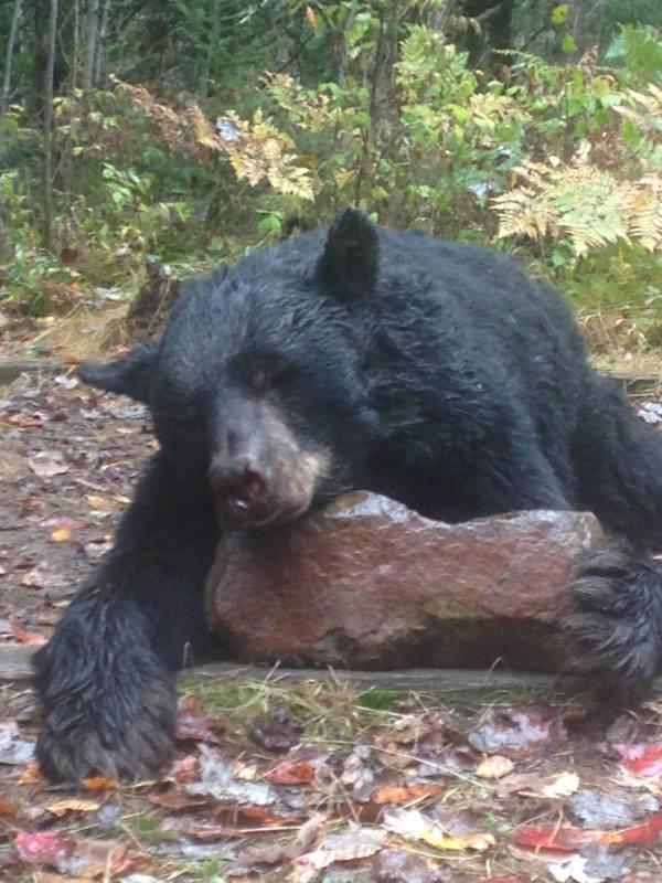 clam-lake-black-bear-guided-hunts