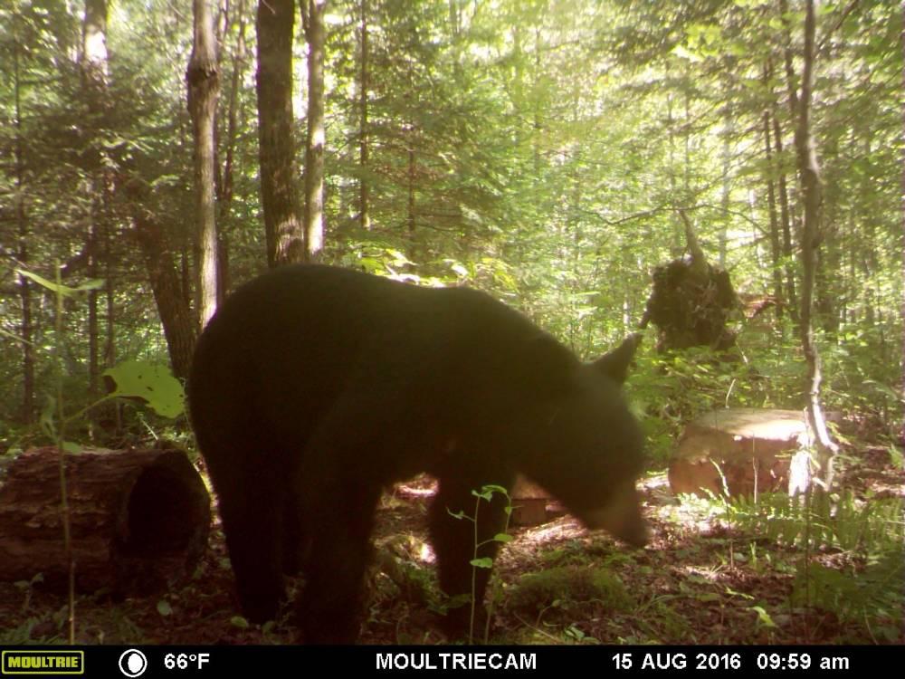 guide-service-clam-lake-bear-hunts6