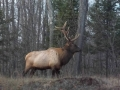 Bull Elk near Clam Lake, WI