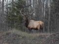 Wisconsin Elk Viewing Opportunities