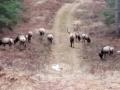 clam-lake-elk-herd