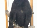 wisconsin-black-bear-taxidermy