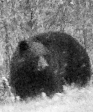 wisconsin-black-bear