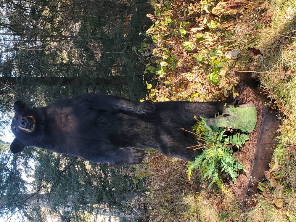 Black Bear Full Mount