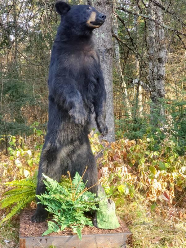 Standing Black Bear Full Mount