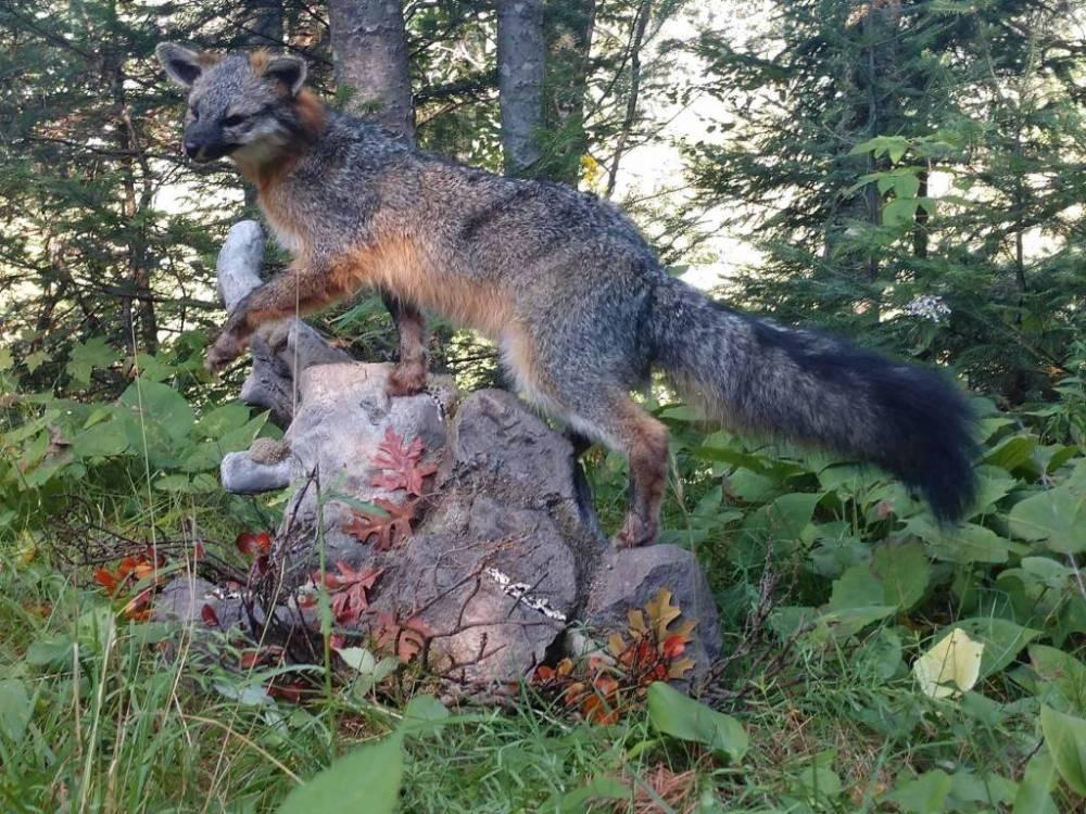 Northern Wisconsin Taxidermy Services: fish, black bear, whitetail deer, predators & birds