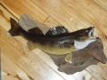 Walleye Fish Mount
