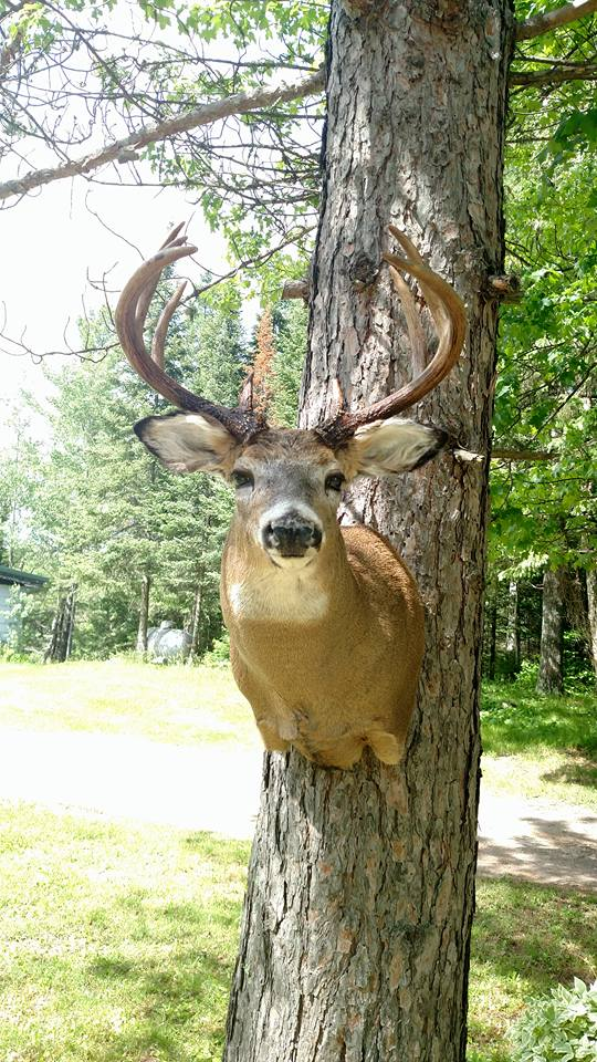 Whitetail Head Mount