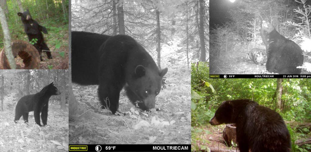 slide-trail-camera-bears