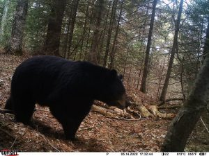 Wisconsin Black Bear