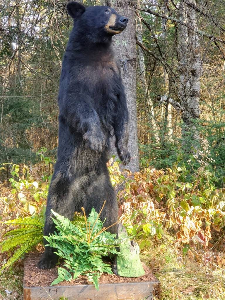 Wisconsin Black Bear Taxidermy